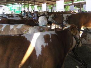 Najljepse_krave.JPG