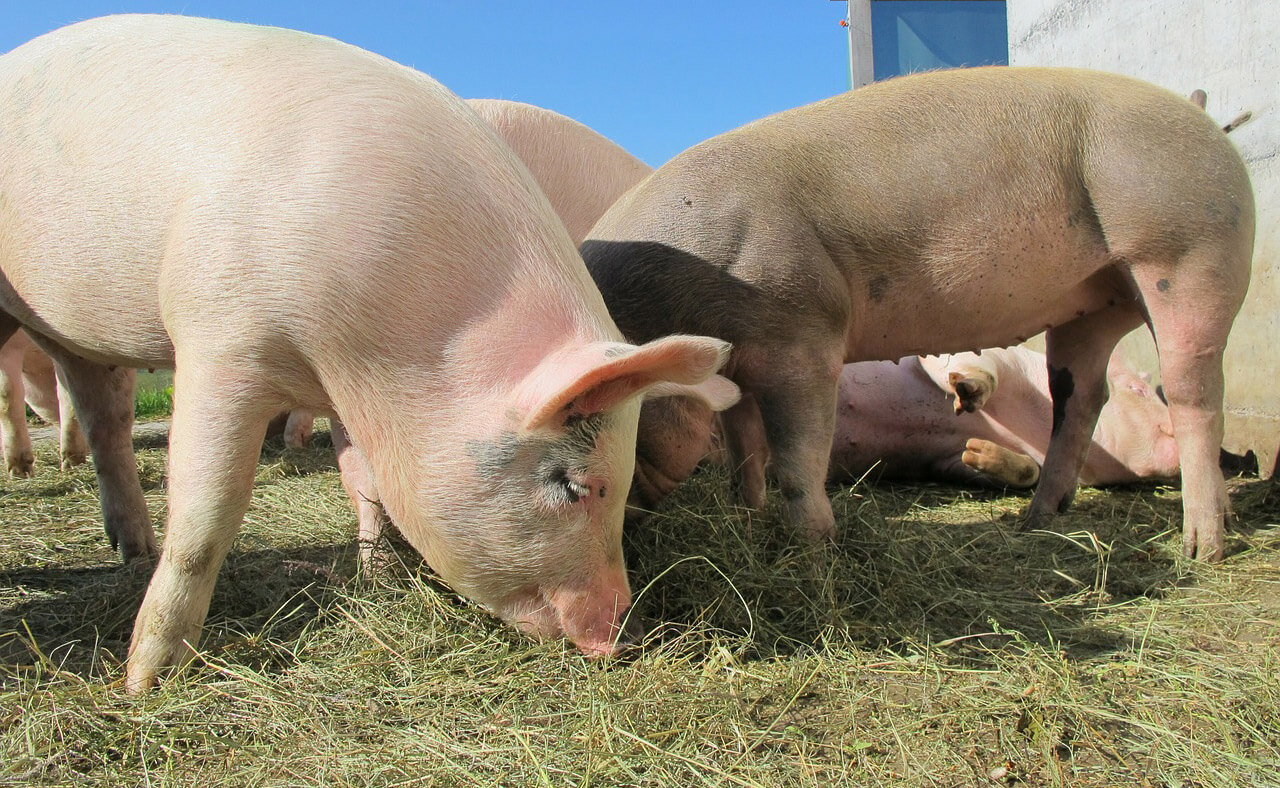 300.000 svinja manje u godini
